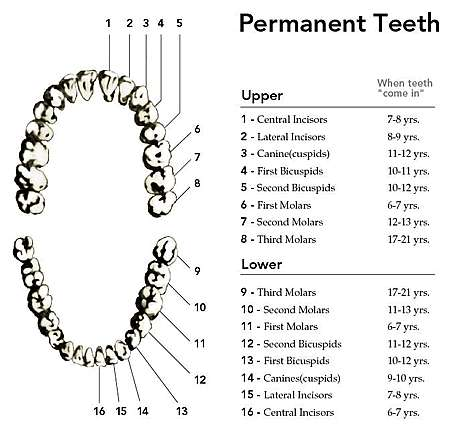 Image of permanent teeth - upper and lower.